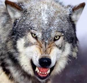 menacing-and-evil-wolf