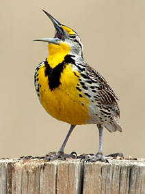 God calling man from the singings of a meadowlark